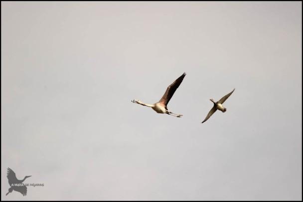Flamenco volando junto a un pato (26-9-2015)