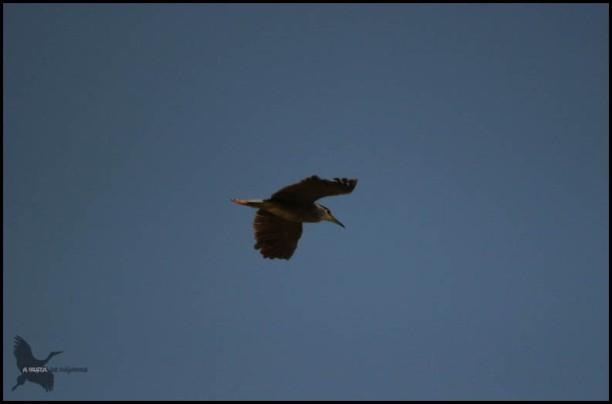 Martinete en vuelo (26-9-2015)