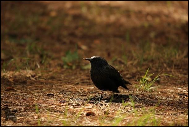 Estornino negro (23-9-2015)
