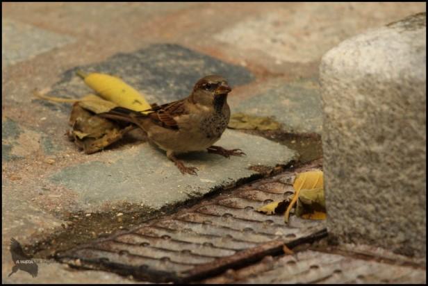 Macho de gorrión común (23-9-2015)