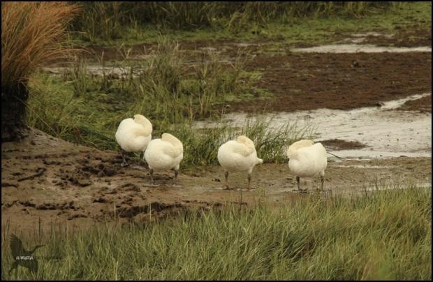 Cisnes en formación de palomitas de maíz (17-9-2015)