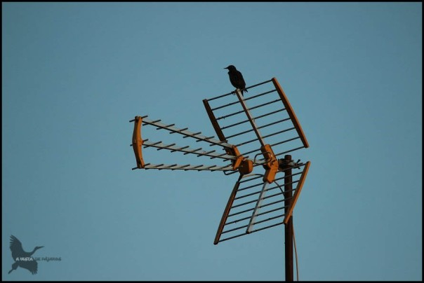 Estornino en una antena (30-10-2015)