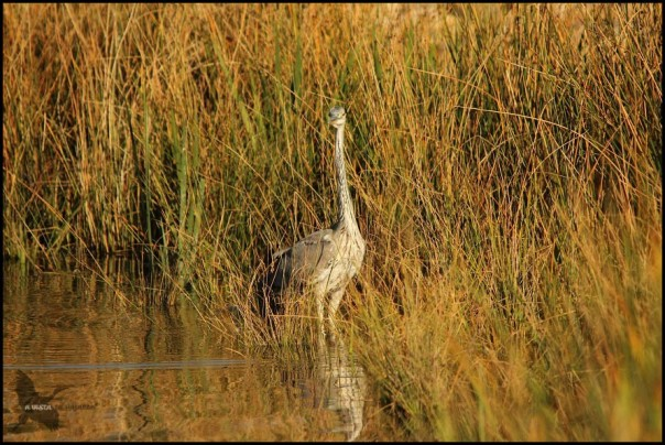 Garza en las orillas (30-10-2015)