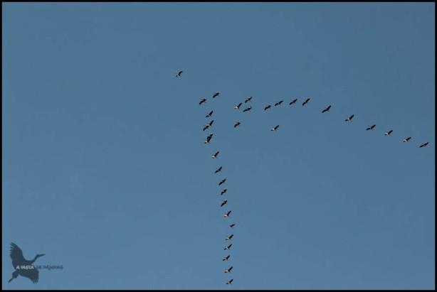 Grullas sobrevolando el cielo (30-10-2015)