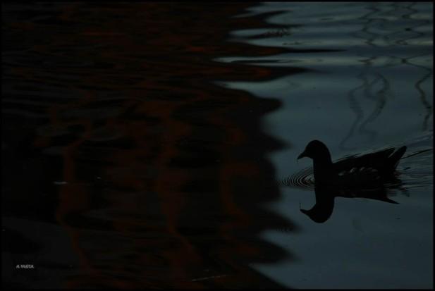 Gallineta al oscurecer (30-10-2015)