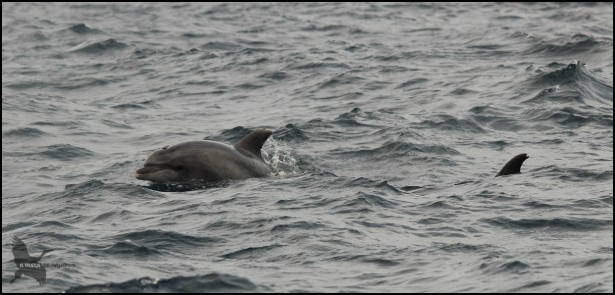 Delfín asomando la cabeza (18-10-2015)