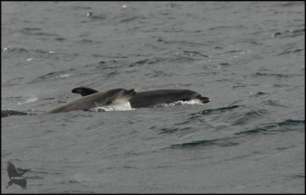 Delfines asomando (18-10-2015)