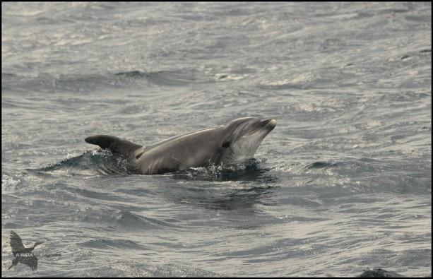 Delfín con aspecto curioso (18-10-2015)