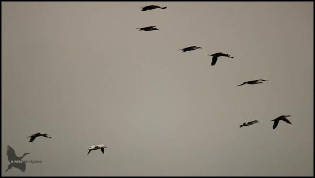 Grupo de alcatarces en vuelo (25-10-2015)