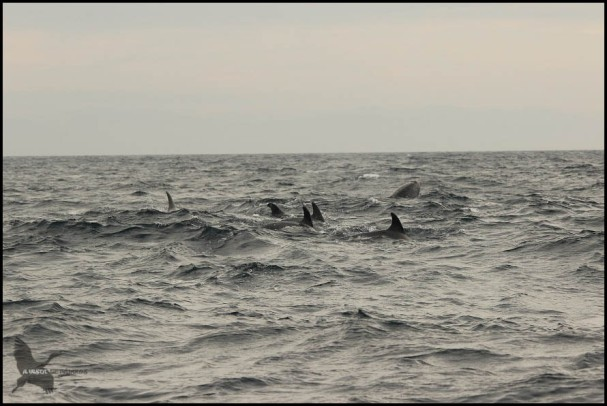 Grupo de delfines (18-10-2015)