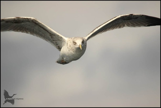 Gaviota volando (25-10-2015)