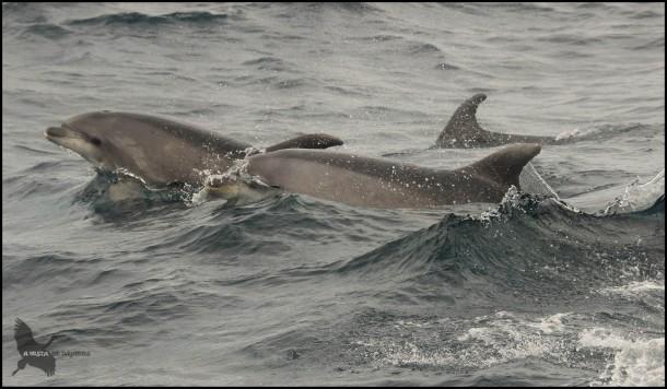 Delfines nadando muy cerca (18-10-2015)