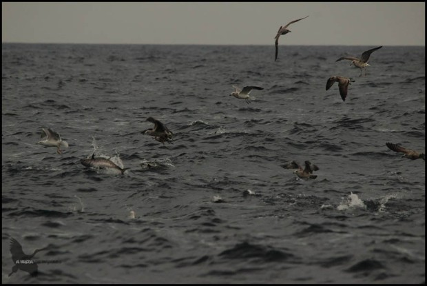 Gaviotas mientras saltan atunes (18-10-2015)