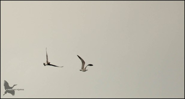 Págalo pomarino siguiendo a una gaviota (25-10-2015)