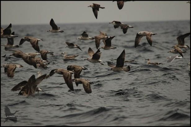 Buen grupo de gaviotas cerca del barco (18-10-2015)