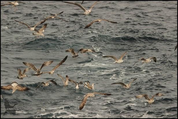 Cúmulo de gaviotas (25-10-2015)
