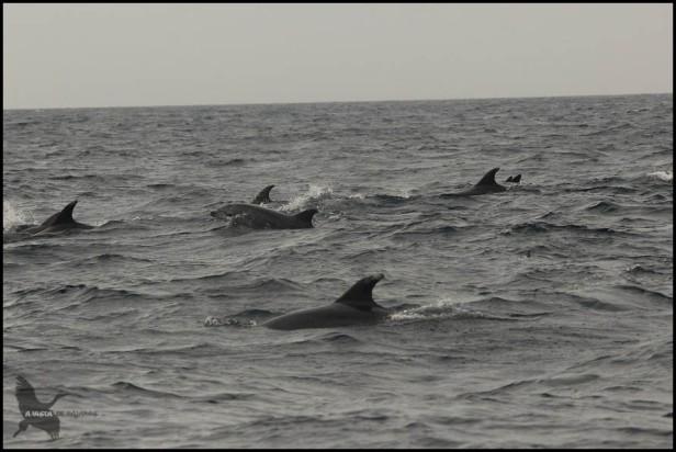 Delfines nadando (18-10-2015)