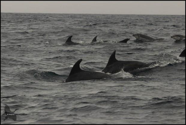 Grupo de delfines mulares (18-10-2015)