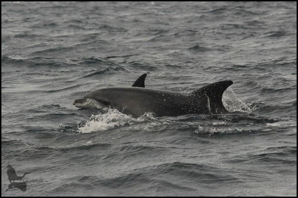 Delfín saltando del agua (18-10-2015)