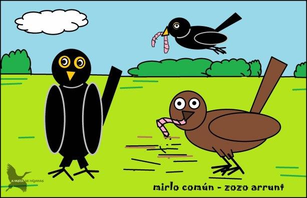 Mirlo común - Zozo arrunt