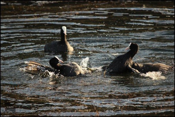 Pelea entre fochas (26-10-2015)