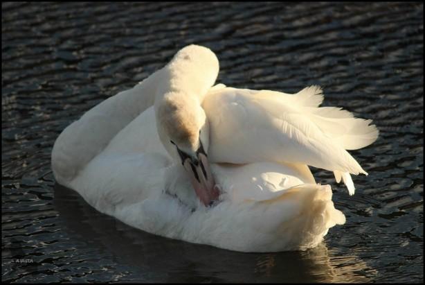 Cisne vulgar (26-10-2015)