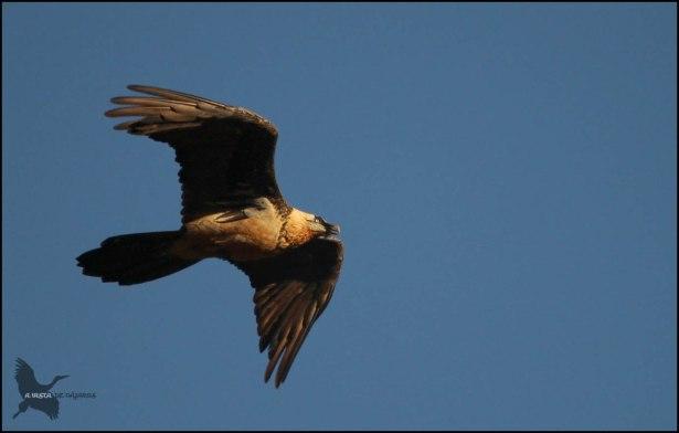 Quebrantahuesos en vuelo (14-10-2015)