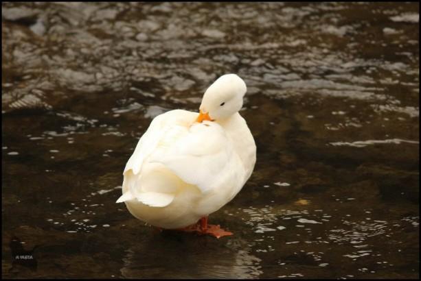 Pato blanco (27-12-2015)