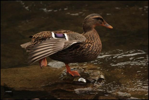 Hembra estirando el ala en una característica postura de la especie (16-12-2015)