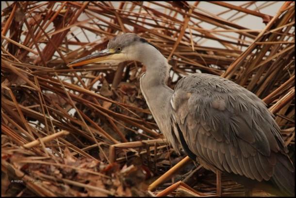 Garza en la orilla (27-12-2015)