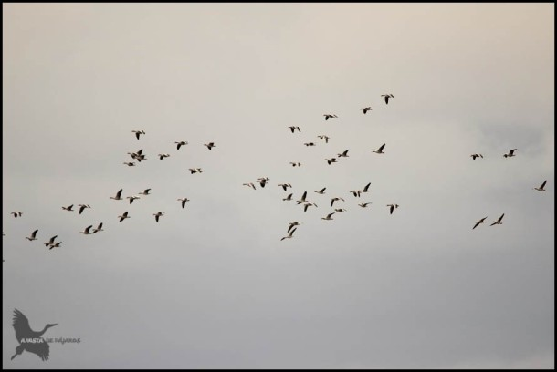 Grupo de gansos (28-10-2015)