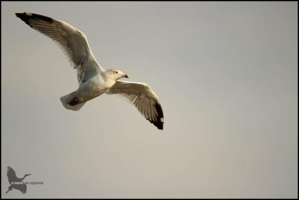 Gaviota en vuelo (26-10-2015)