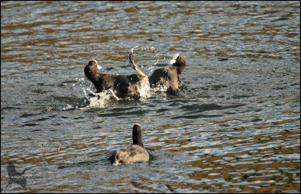 Pelea de fochas (26-10-2015)