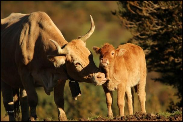 Vaca con su ternerillo (15-10-2015)