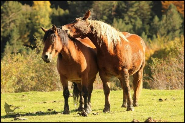Pareja de caballos dándose mimos... jejejeje (14-10-2015)