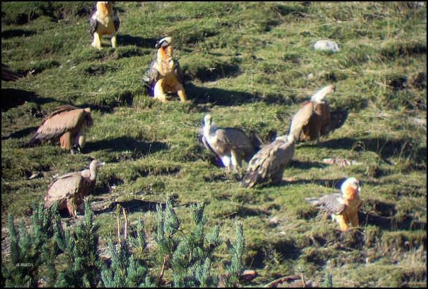 Quebrantahuesos y buitres leonados en uno de los muladares (16-10-2015)