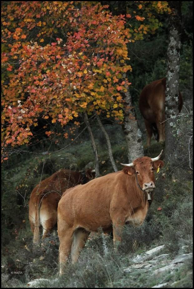 Vaca en el borde del bosque (14-10-2015)