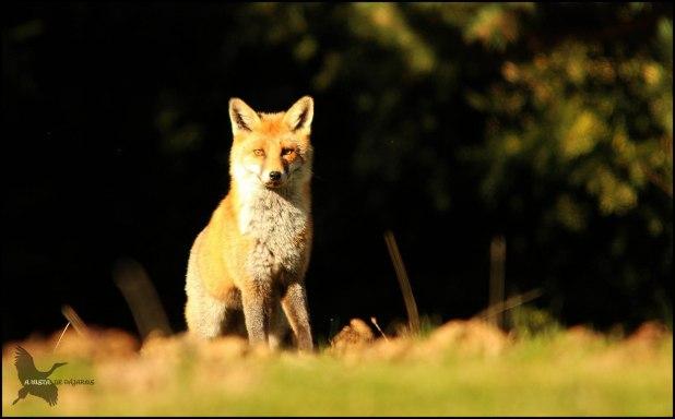 El mismo zorro un poquillo más cerca (15-10-2015)