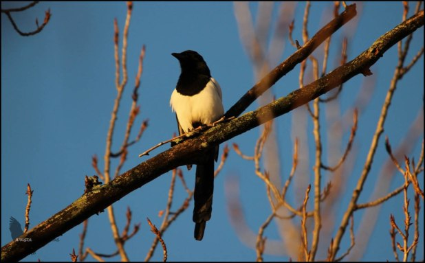 Picaraza en lo alto de un árbol (16-1-2016)