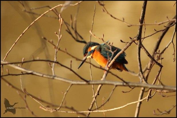 Martín pescador en la espesura de la rama (16-1-2016)