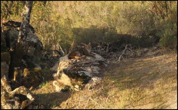 Lince ya tumbado en la roca (7-12-2015)