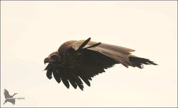Buitre negro en vuelo (9-12-2015)