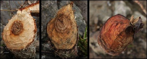 Diferentes árboles roidos (23-1-2016)
