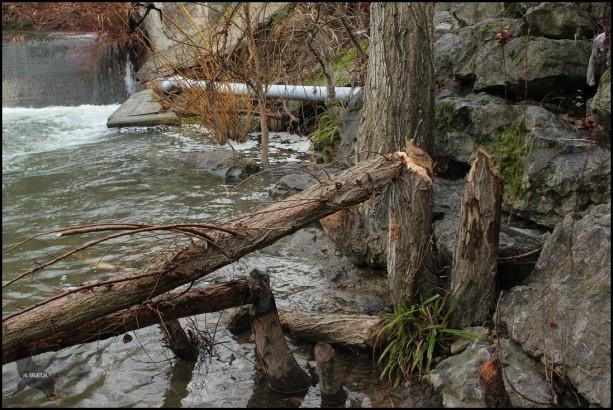 Árboles derribados por castor (23-1-2016)
