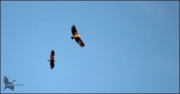 Águila imperial junto a buitre leonado (9-12-2015)