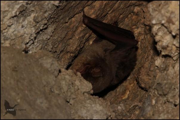 Murciélago de cueva (9-12-2015)