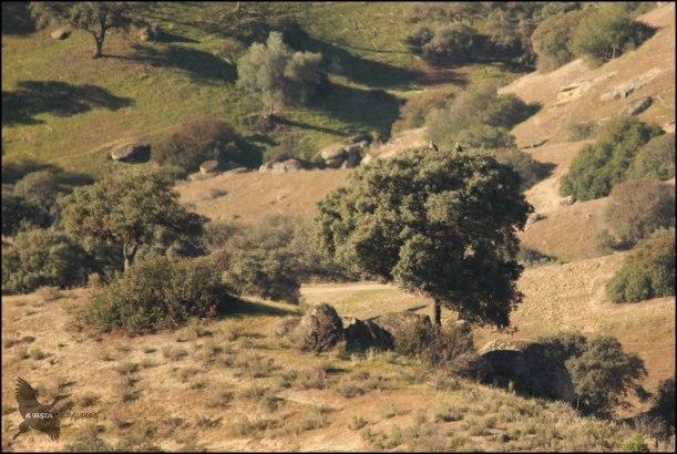 Pareja de imperiales sobre un árbol (6-12-2015)