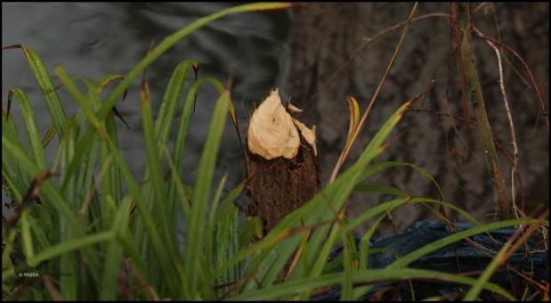 Árbol talado muy recientemente (23-1-2016)