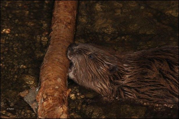 Primer plano del castor mordiendo el tronco (24-1-2016)