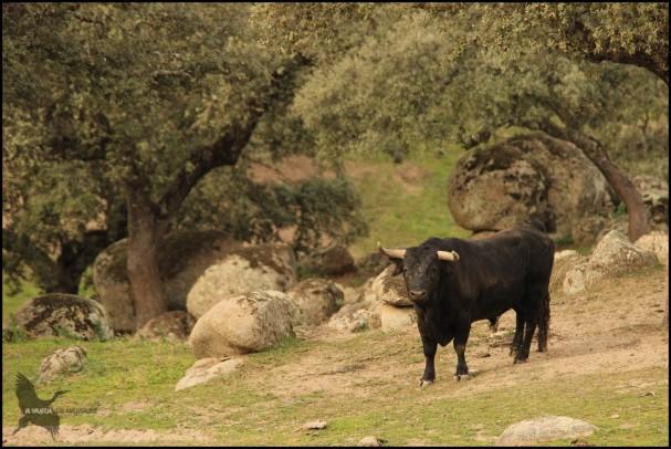 Toro en la dehesa (9-12-2015)
